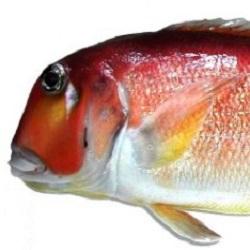 白身の高級魚である甘鯛!甘鯛を贅沢に使ったおすすめレシピ5選!のサムネイル画像